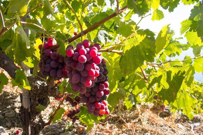 Αφιέρωμα στον πράμνιο οίνο